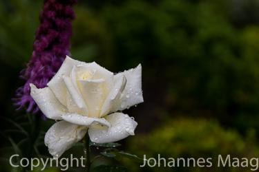 1128a Weiße Rose