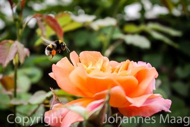 1345a Hummel mit Rosenblüte