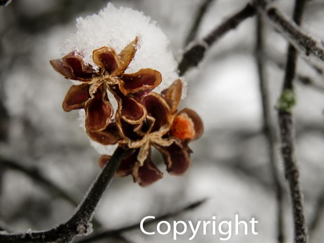 1418a Wintersamen, Winterfrucht