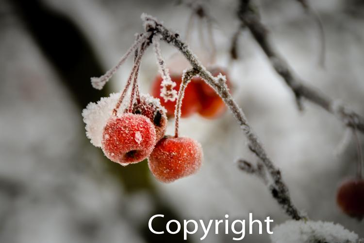 1419a Wintersamen, Winterfrucht