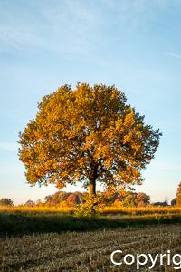 1531a Herbstbaum