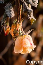 Raureif auf Rose