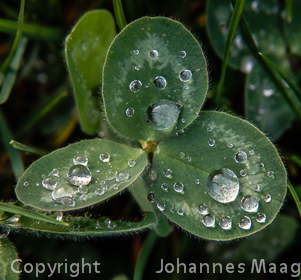 939a Wassertropfen auf Kleeblatt