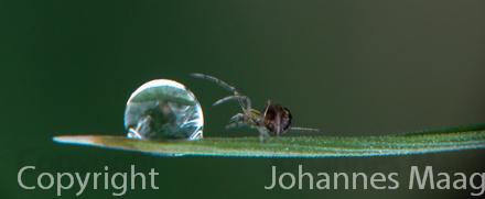 979a Wassertropfen mit Spinne